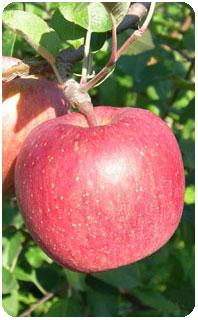 リンゴ品種・ふじ