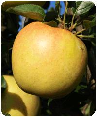 リンゴ品種・ぐんま名月