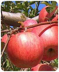 リンゴ品種・サンふじ